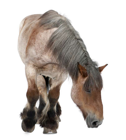 brown horse: Belgian horse, Belgian Heavy Horse, Brabancon, a draft horse breed, 16 years old, standing in front of white background Stock Photo