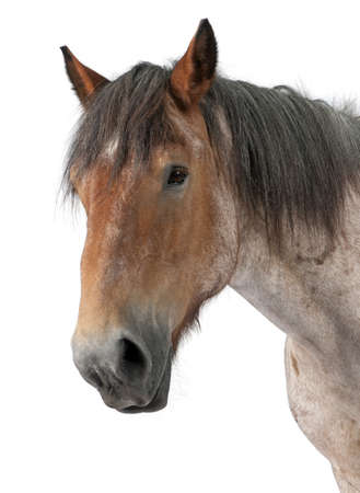 belgian horse: Close-up of Belgian horse, Close-up of Belgian Heavy Horse, Brabancon, a draft horse breed, standing in front of white background Stock Photo
