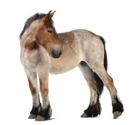 csikó: Belgian Heavy Horse foal, Brabancon, a draft horse breed, 13 months old, standing in front of white background Stock fotó