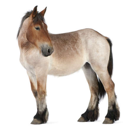 belgian horse: Belgian Heavy Horse foal, Brabancon, a draft horse breed, 13 months old, standing in front of white background Stock Photo