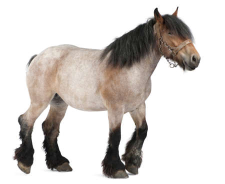Belgian horse, Belgian Heavy Horse, Brabancon, a draft horse breed, 5 years old, standing in front of white background photo