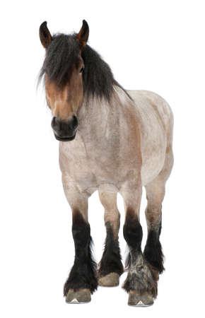 belgian horse: Belgian horse, Belgian Heavy Horse, Brabancon, a draft horse breed, 5 years old, standing in front of white background Stock Photo