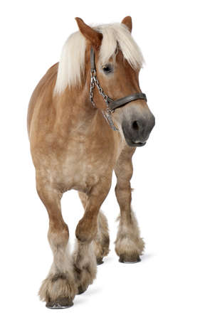 belgian horse: Belgian horse, Belgian Heavy Horse, Brabancon, a draft horse breed, 10 years old, standing in front of white background