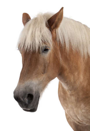 belgian horse: Close-up of Belgian horse, Close-up of Belgian Heavy Horse, Brabancon, a draft horse breed, 10 years old, standing in front of white background