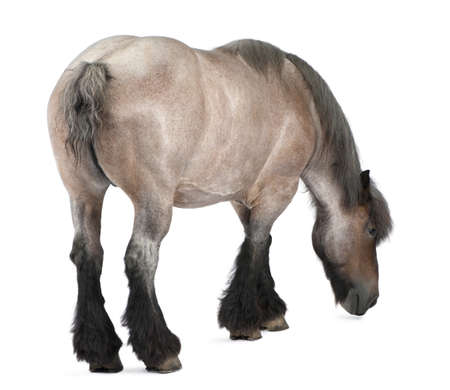 belgian horse: Belgian horse, Belgian Heavy Horse, Brabancon, a draft horse breed, 11 years old, standing in front of white background