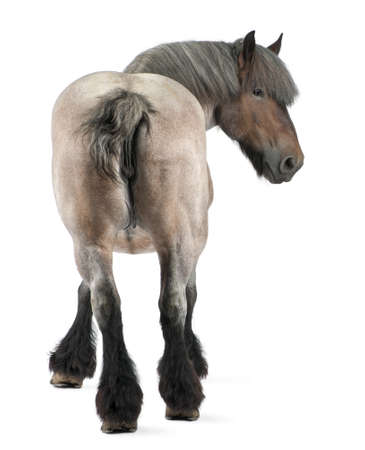 shot from behind: Belgian horse, Belgian Heavy Horse, Brabancon, a draft horse breed, 11 years old, standing in front of white background