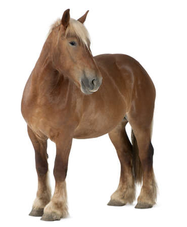 Belgian horse, Belgian Heavy Horse, Brabancon, a draft horse breed, 4 years old, standing in front of white background photo