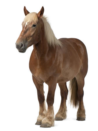 belgian horse: Belgian horse, Belgian Heavy Horse, Brabancon, a draft horse breed, 4 years old, standing in front of white background