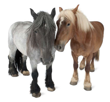 animals together: Belgian horse, Belgian Heavy Horse, Brabancon, a draft horse breed, standing in front of white background