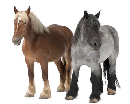 belgian horse: Belgian horse, Belgian Heavy Horse, Brabancon, a draft horse breed, standing in front of white background