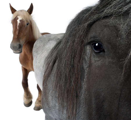 Close-up of Belgian horse, Close-up of Belgian Heavy Horse, Brabancon, a draft horse breed, standing in front of white background Stock Photo - 7974271