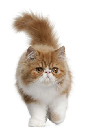 persian cat: Persian Kitten, 3 months old, walking in front of white background