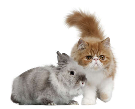 Persian Kitten, 3 months old, and Rabbit, 1 year old, in front of white background photo