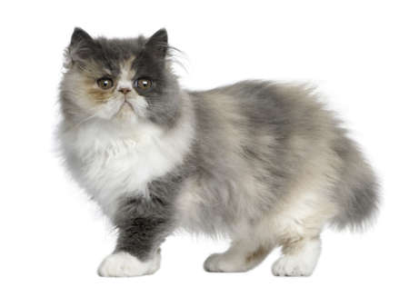 Persian Kitten, 3 months old, standing in front of white background photo