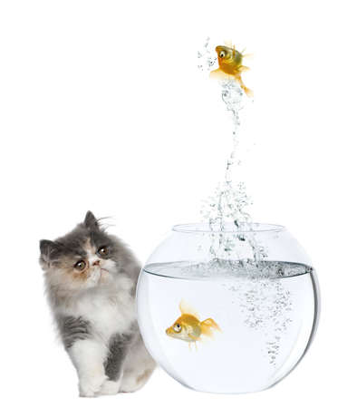 Persian Kitten, 3 months old, watching goldfish jump out of fish bowl in front of white background Stock Photo - 7980191