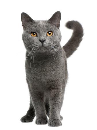 シャルトリュー猫、16 ヶ月、白い背景の前に立って