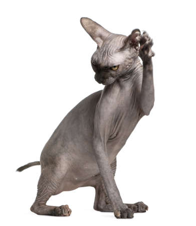 9 months old: Sphynx cat with paw up, 9 months old, in front of white background
