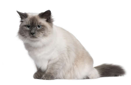 Siberian cat, 18 months old, sitting in front of white background photo