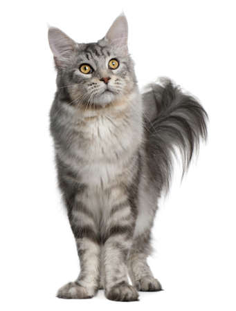 coon: Maine Coon, 13 months old, standing in front of white background