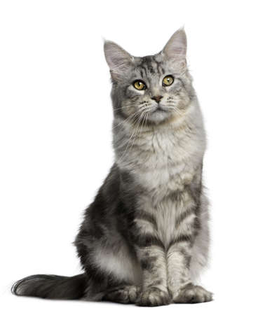 gray cat: Maine Coon, 13 months old, standing in front of white background