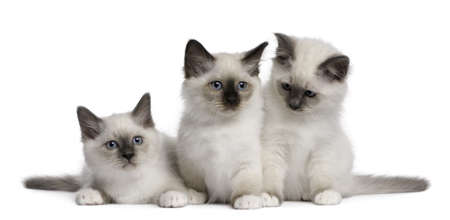 birman kitten: Birman Kittens, 2 months old, in front of white background