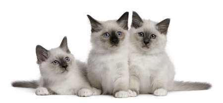 three months old: Birman Kittens, 2 months old, in front of white background