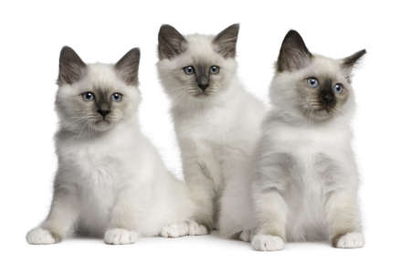 three months old: Birman Kittens, 2 months old, sitting in front of white background Stock Photo