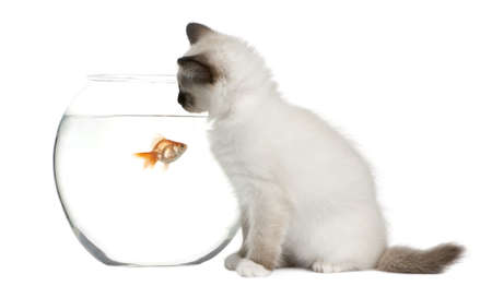 Birman Kitten, 2 months old, looking in goldfish bowl in front of white background photo