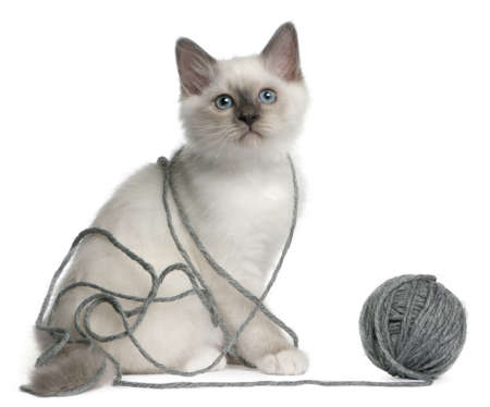 Birman Kitten, 2 months old, playing with a ball of yarn in front of white background Stock Photo - 7980172
