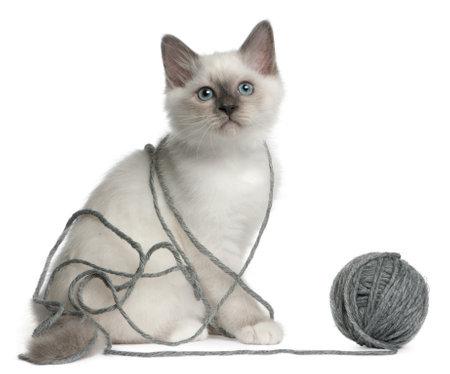 gomitoli di lana: Birmania Kitten, 2 mesi, giocare con una palla di filati davanti a sfondo bianco