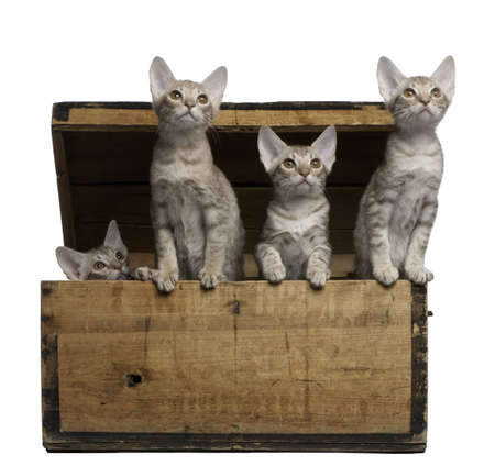 Ocicat kittens, 13 weeks old, emerging from a wooden box in front of white background photo