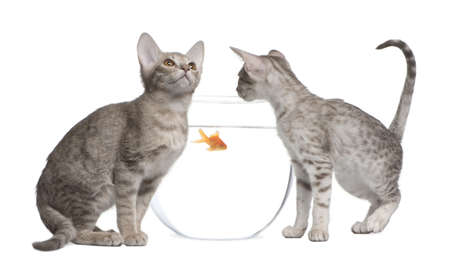 Two Ocicat Cats, 13 weeks old, looking in goldfish bowl Stock Photo - 7980303