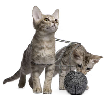 weeks: Two Ocicat Cats, 13 weeks old, playing with a ball of yarn Stock Photo