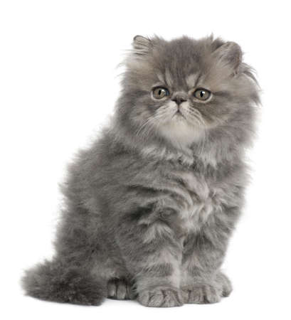 gray cat: Persian kitten, 2 months old, sitting in front of white background