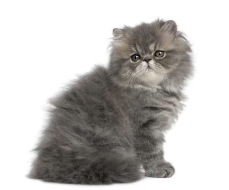 Persian kitten, 2 months old, sitting in front of white background photo