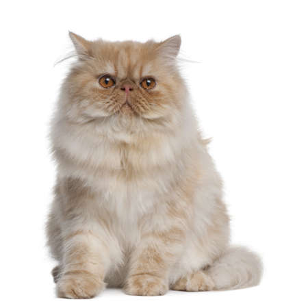 persian cat: Persian Cat, 1 year old, sitting in front of white background
