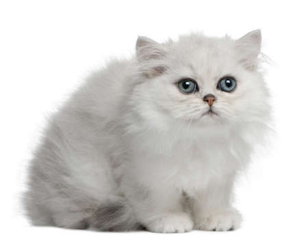 Persian cat, 3 months old, sitting in front of white background Stock Photo - 7980246