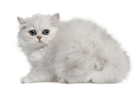 Persian cat, 3 months old, sitting in front of white background Stock Photo - 7980186
