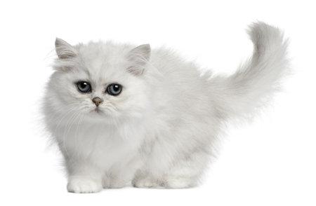 white tail: Gatto persiano, 3 mesi di et�, in piedi davanti a fondo bianco