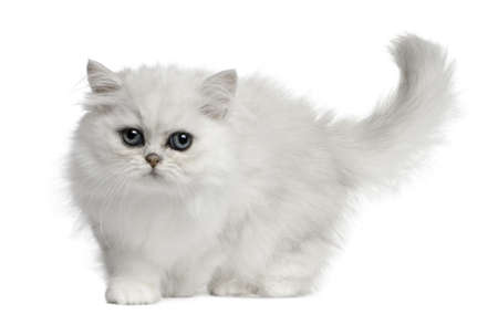 furry tail: Persian cat, 3 months old, walking in front of white background Stock Photo