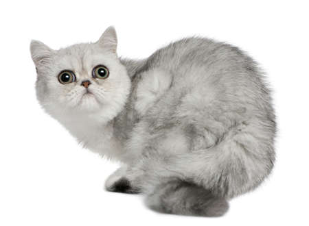 Exotic Shorthair cat, 5 months old, sitting in front of white background and looking up photo