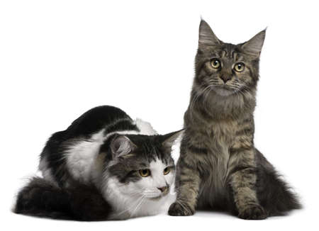 Two Maine Coon Cats, 8 and 9 months old, in front of white background photo