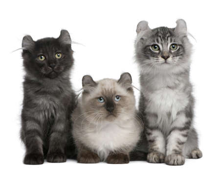 Three American Curl Kittens, 3 months old, sitting in front of white background photo