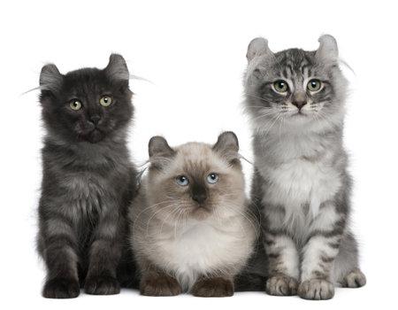 three animals: Tre American Curl gatti, 3 mesi di et�, seduto davanti a sfondo bianco