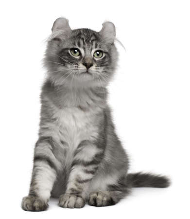 American Curl Kitten, 3 months old, sitting in front of white background Stock Photo - 7980380