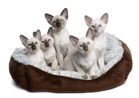 white cats: Five Siamese Kittens, 10 weeks old, sitting in cat bed in front of white background