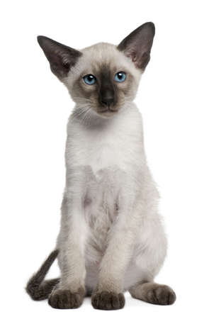 blue siamese: Siamese kitten, 10 weeks old, sitting in front of white background