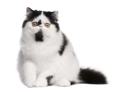 Black and white Persian cat sitting in front of white background photo