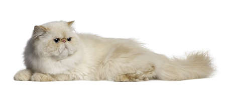 lying in front: Persian Cat, 2 years old, lying in front of white background