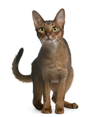 abyssinian cat: Abyssinian Cat, 14 months old, standing in front of white background